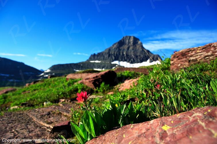 Red Paintbrush Flower Logan Pass Glacier National Park Montana USA