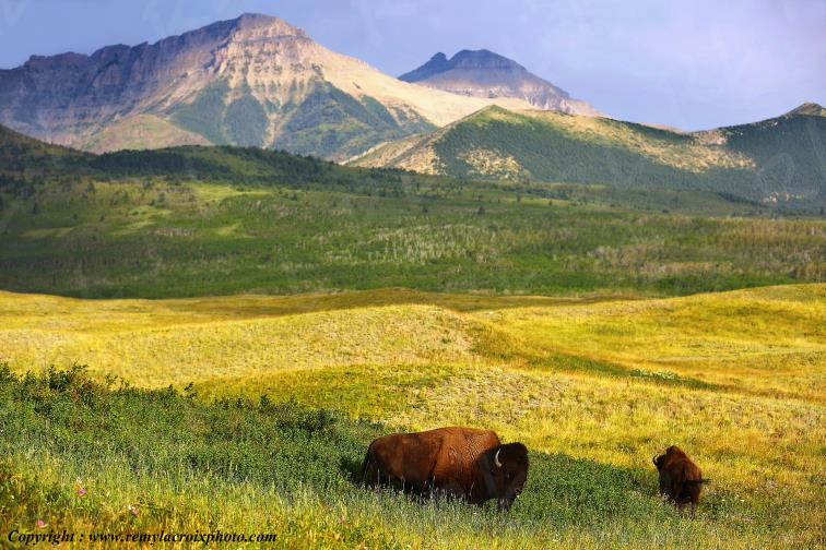 Bisons,Waterton Lakes Nat'l Park,Alberta,Canada