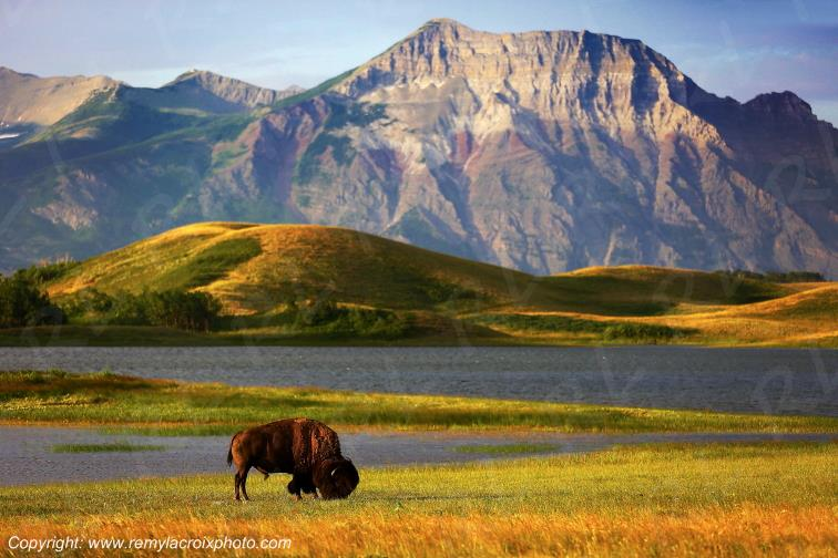 Bison,Waterton Lakes Nat'l Park,Alberta,Canada